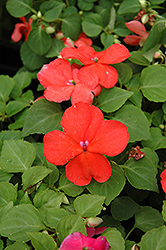 Super Elfin® Salmon Impatiens (Impatiens walleriana 'Super Elfin Salmon') at Parkland Garden Centre