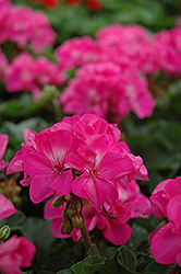 Fantasia® Shocking Pink Geranium (Pelargonium 'Fantasia Shocking Pink') at Parkland Garden Centre