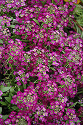 Wonderland Purple Alyssum (Lobularia maritima 'Wonderland Purple') at Parkland Garden Centre