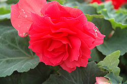 Nonstop® Bright Red Begonia (Begonia 'Nonstop Bright Red') at Parkland Garden Centre
