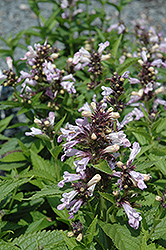 Candy Cat Catmint (Nepeta subsessilis 'Candy Cat') at Parkland Garden Centre