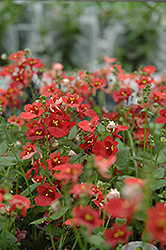 Romeo Red Twinspur (Diascia 'Romeo Red') at Parkland Garden Centre