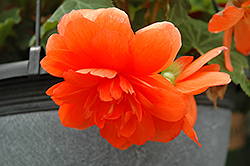 Nonstop® Orange Begonia (Begonia 'Nonstop Orange') at Parkland Garden Centre