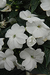 Sonic® White New Guinea Impatiens (Impatiens 'Sonic White') at Parkland Garden Centre