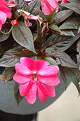 Sonic® Sweet Purple New Guinea Impatiens (Impatiens 'Sonic Sweet Purple') at Parkland Garden Centre