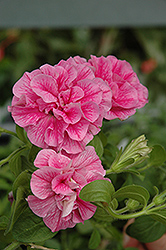 Double Wave Pink Petunia (Petunia 'Double Wave Pink') at Parkland Garden Centre