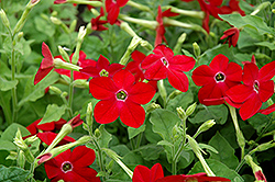 Saratoga Deep Rose Flowering Tobacco (Nicotiana 'Saratoga Deep Rose') at Parkland Garden Centre