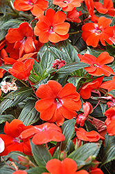 Posh Orange New Guinea Impatiens (Impatiens 'Posh Orange') at Parkland Garden Centre