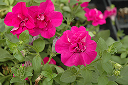 Double Wave Purple Petunia (Petunia 'Double Wave Purple') at Parkland Garden Centre
