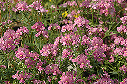 Enchanting Pink Nemesia (Nemesia 'Enchanting Pink') at Parkland Garden Centre