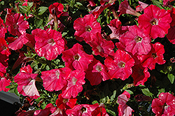Supertunia® Watermelon Charm Petunia (Petunia 'Supertunia Watermelon Charm') at Parkland Garden Centre