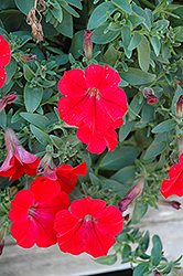 Surfinia® Red Petunia (Petunia 'Surfinia Red') at Parkland Garden Centre