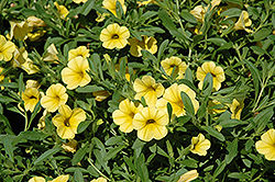Cabaret® Yellow Calibrachoa (Calibrachoa 'Cabaret Yellow') at Parkland Garden Centre