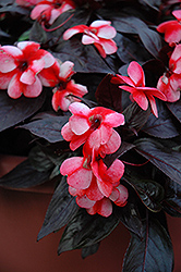 Celebrette Strawberry Star New Guinea Impatiens (Impatiens 'Celebrette Strawberry Star') at Parkland Garden Centre