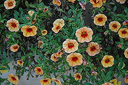 MiniFamous® iGeneration Apricot Red Eye Calibrachoa (Calibrachoa 'MiniFamous iGeneration Apricot Red Eye') at Parkland Garden Centre