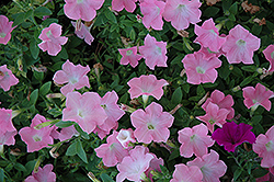 Easy Wave Shell Pink Petunia (Petunia 'Easy Wave Shell Pink') at Parkland Garden Centre