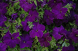 Dreams Midnight Petunia (Petunia 'Dreams Midnight') at Parkland Garden Centre