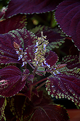 Emotions Sophisticated Coleus (Solenostemon scutellarioides 'Sophisticated') at Parkland Garden Centre