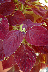 Premium Sun Dark Chocolate Coleus (Solenostemon scutellarioides 'Dark Chocolate') at Parkland Garden Centre