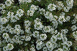 Clear Crystal White Sweet Alyssum (Lobularia maritima 'Clear Crystal White') at Parkland Garden Centre