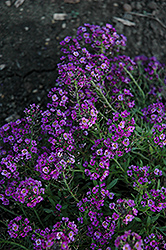 Clear Crystal Purple Shades Sweet Alyssum (Lobularia maritima 'Clear Crystal Purple Shades') at Parkland Garden Centre