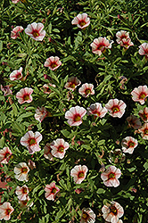 Can-Can® Strawberry Calibrachoa (Calibrachoa 'Can-Can Strawberry') at Parkland Garden Centre