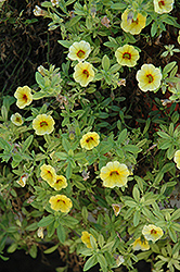 Aloha Yellow Red Eye Calibrachoa (Calibrachoa 'Aloha Yellow Red Eye') at Parkland Garden Centre