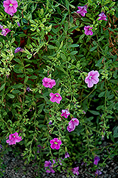 Million Bells® Trailing Pink Calibrachoa (Calibrachoa 'Million Bells Trailing Pink') at Parkland Garden Centre