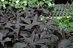 Blackie Sweet Potato Vine (Ipomoea batatas 'Blackie') at Parkland Garden Centre