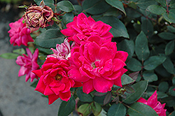 Red Double Knock Out Rose (Rosa 'Red Double Knock Out') at Parkland Garden Centre