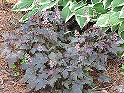 Burnished Bronze Foamy Bells (Heucherella 'Burnished Bronze') at Parkland Garden Centre