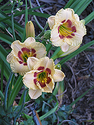 Canadian Border Patrol Daylily (Hemerocallis 'Canadian Border Patrol') at Parkland Garden Centre