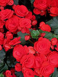 Nonstop® Red Begonia (Begonia 'Nonstop Red') at Parkland Garden Centre
