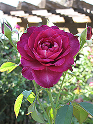 Intrigue Rose (Rosa 'Intrigue') at Parkland Garden Centre