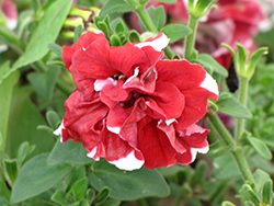 Madness Red And White Double Petunia (Petunia 'Madness Red And White Double') at Parkland Garden Centre