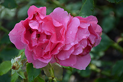 Country Dancer Rose (Rosa 'Country Dancer') at Parkland Garden Centre