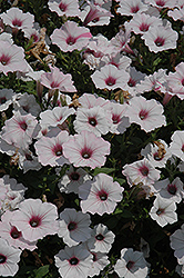 Supertunia Vista® Silverberry Petunia (Petunia 'Supertunia Vista Silverberry') at Parkland Garden Centre