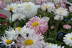 Super Enorma English Daisy (Bellis perennis 'Super Enorma') at Parkland Garden Centre