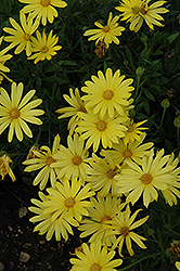 Voltage™ Yellow African Daisy (Osteospermum 'Voltage Yellow') at Parkland Garden Centre