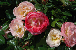 Peach Drift® Rose (Rosa 'Meiggili') at Parkland Garden Centre