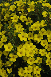 Gold Drop Potentilla (Potentilla fruticosa 'Gold Drop') at Parkland Garden Centre
