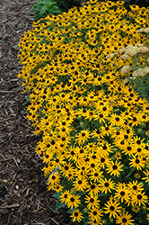 Little Goldstar Coneflower (Rudbeckia fulgida 'Little Goldstar') at Parkland Garden Centre
