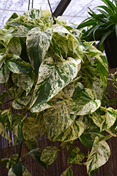 Marble Queen Golden Pothos (Epipremnum aureum 'Marble Queen') at Parkland Garden Centre