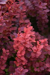 Ruby Carousel Japanese Barberry (Berberis thunbergii 'Bailone') at Parkland Garden Centre