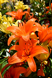 Brunello Lily (Lilium 'Brunello') at Parkland Garden Centre