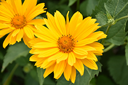 Venus False Sunflower (Heliopsis helianthoides 'Venus') at Parkland Garden Centre