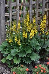 Little Rocket Rayflower (Ligularia 'Little Rocket') at Parkland Garden Centre