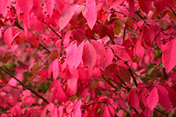 Winged Burning Bush (Euonymus alatus) at Parkland Garden Centre