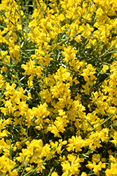 Bangle® Dyers Greenwood (Genista lydia 'Select') at Parkland Garden Centre