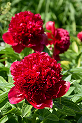 Red Charm Peony (Paeonia 'Red Charm') at Parkland Garden Centre